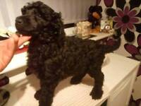 Standard poodle puppies boys £450 girls £750