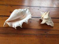Large, Beautiful, Real Seashells