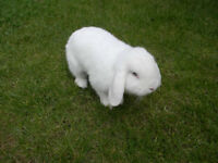 Female white mini Loop rabbit