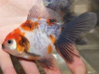 Lovely juvenile calico oranda fancy goldfish for sale!