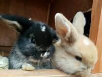 Rabbit mini lop
