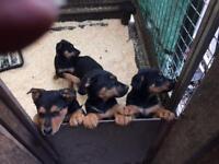 Rottweiler x German shepherd puppies £300