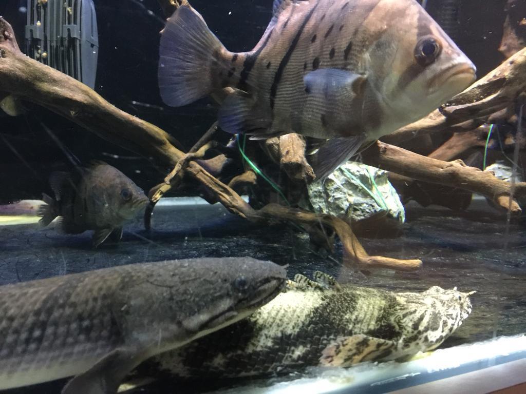 Bichir fish - Endli and Weeksii