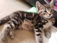 2 beautiful tabby kittens