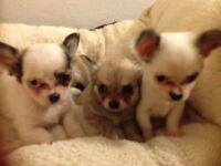 Stunning Tiny Long Coat boy Chihuahua puppies.