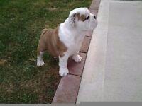 Stunning KC reg female British Bulldog