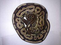 Royal python pair