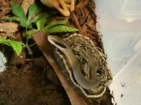 Vietnamese blue beauty snakes