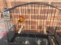 Canary mule bird with cage