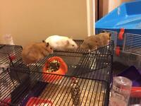 2x syrian hamsters male and female (white one not for sale)