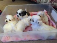 Full Shitzu boy pups Ready now