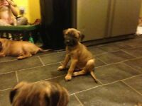 Bullmastiff x puppy for sale