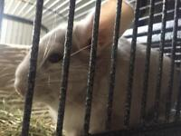2 chinchillas, cage available (must be caged separately)