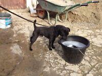 Patterdale terrier lakeland border Russell fell bull fox terrier wheaten dog pup