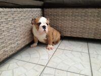 Stunning British bulldog girl for sale