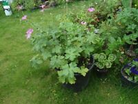 Hardy geranium plants in flower now in a large pot (25 cm)