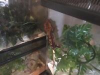Partial quad stripe extreme harliquin dalmation crested gecko