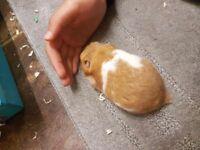 Male hamsters gumtree for sale
