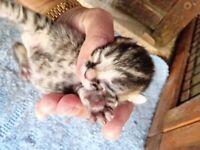 Bengal cross Shorthair kittens