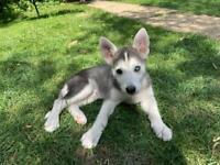 Husky/utonagan puppies PRICE NEGOTIABLE