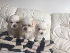 Pure Maltese puppy