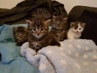 Ready 21st december. 4 stunning maine coon x kittens