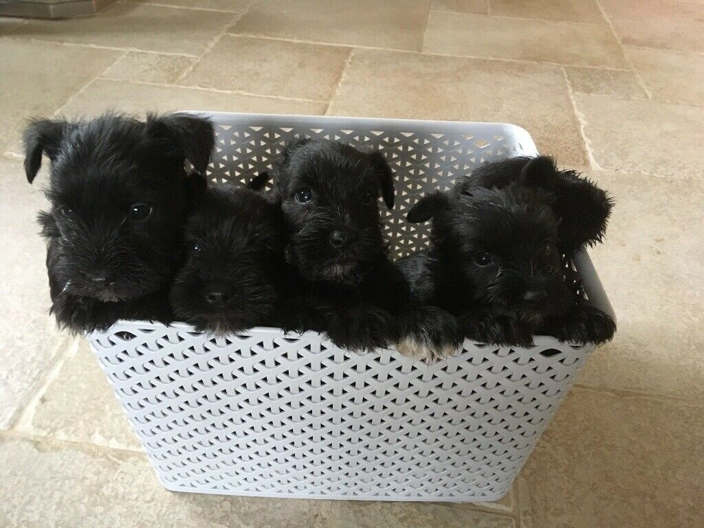 Miniature Schnauzer Puppies For Sale In Portadown County Armagh