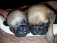 Pug puppies for sale!