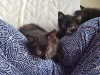 Two lovely black kittens