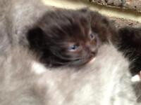 Rag doll kittens ready in 8 weeks