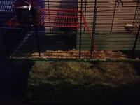 2 cute female gerbils with setup
