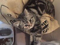Affectionate British Shorthair kitten