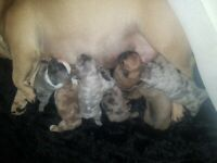 Frenchbulldog puppies