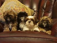 Adorable Shih Tzu Puppies For Sale.
