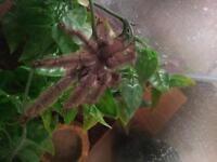 tarantula venezualan suntiger