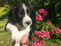 Springer Spaniel puppies - beautiful liver and white bitches, black and white bitches and dogs