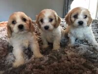Cavachon f1 puppies