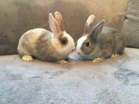 Two beautiful fully vaccinated baby rabbits