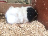 ⭐️ beautiful young guinea pigs - WELL HANDLED ⭐️