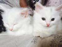 Turkish angora kitten pure white 300 ono