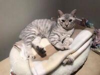 Missing Cat - Mr Fuzzypants Tabby