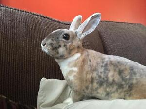 Pure Breed Mini Rex Rabbits (please read ad throughly)