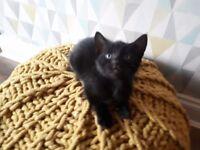 * cute Kitten *Black male