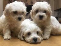 Maltichon puppies 3 boys