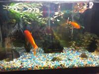 Gold Fishes with Fish Tank - SOLD
