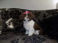 female imperial shih tzu