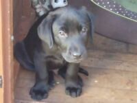 8 week pedigree Labrador puppy