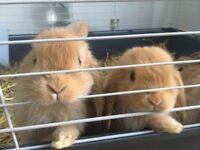 2 mini lop bunnies for sale