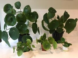 Pilea peperomioides (chinese money plant / missionary plant) DIFFERENT sizes available