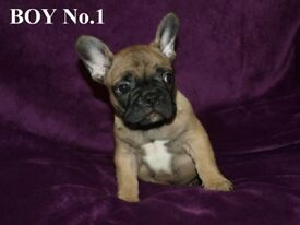 Beautiful french bulldog puppies ready for loving homes.
